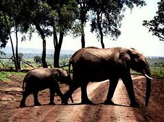 The Elephant walk (LiesBaas) Tags: life people elephant colour nature animal animals kenya 2006 planet elephants dieren dier kenia masai leven olifant masaimara beest olifanten analogcamera analogefotografie kleurenfoto levensboom analogphotographie kleurenfotografie liesbb oldschoolpicturemaking liesbaas