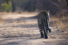leopard (sausyn) Tags: africa park male walking southafrica leopardo back feline bokeh south tail safari leopard nikkor vr kruger coda gamedrive dietro 70300 sudafrica sabisand kirkmanskamp