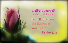 He Will Give You the Desires of Your Heart (honey 77) Tags: pink nature rose colorful heart god jesus lord christian delight inspirational desires scriptures bibleverse psalm374 inspiks|inspirationalpictues