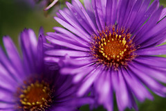 purple burst (ecphotographic) Tags: autumn red flower macro nature yellow catchycolors october dof purple blossom stamen pistol bloom aster mushroomhunt ineffable asternovaeangliae nikond80 notdeep 60mmf28gmicro bowmanswildflowerpreserve emchill