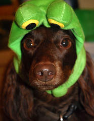 frog nose (Doxieone) Tags: dog brown green fall halloween long chocolate dachshund frog 2008 haired longhaired halloweenfall2008set ddate