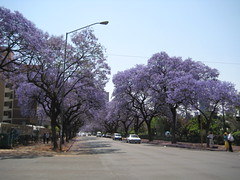 IMG_3142 (Philip & Doris Morgan) Tags: jacaranda pretoria jacarandatrees