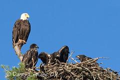 July 17 07 017v (Dbltake) Tags: bald moncton eagles
