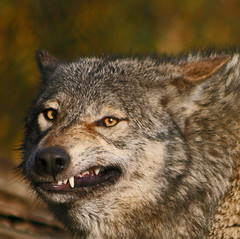 Grey Wolf (Gary's Photos!!) Tags: ireland dog eye dogs nature animal canon fur mammal nose photography eos grey photo big scary paw wolf foto fierce wildlife teeth gray bad conservation canine ear celtic endangered lupus graywolf wolves gentle howl carnivore protected 30d phoenixpark greywolf canis dublinzoo goldenglobe canislupus threatened chordata canidae specanimal garywilson naturesgallery abigfave baileathcliath impressedbeauty naturewatcher platinumheartaward bestofanimals goldwildlife goldstaraward itsazoooutthere qualitypixels damniwishidtakenthat flickrlovers vosplusbellesphotos