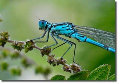Azure Damselfly (Nige's Place) Tags: uk england nature europe dragonflies wildlife insects somerset damselflies odonata azuredamselfly colorphotoaward