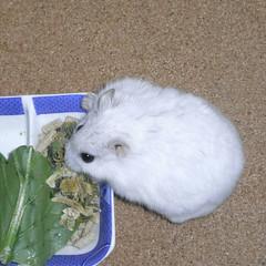 乾燥キャベツを食べるましろ