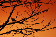 Fim de tarde (Eduardo Amorim) Tags: trees brazil tree southamerica silhouette brasil alberi arbol atardecer arboles arbres pelotas silueta albero bume arbre rvore baum riograndedosul poniente anoitecer rvores brsil entardecer crepsculo barreiro silhueta amricadosul poente rufous amriquedusud umris sudamrica suramrica furnariusrufus amricadelsur sdamerika hornero joodebarro costadoce americadelsud forneiro siluetta americameridionale eduardoamorim rosttpfer fournieroux