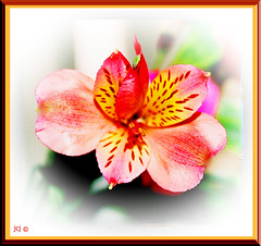 FRESIA MACRO (fantartsy JJ *2013 year of LOVE!*) Tags: flowers autumn friends red macro fall love floral beauty yellow amber photo searchthebest seasonal bouquet soe pictureperfect fresia blueribbonwinner artisticexpression altruistic supershot flickrsbest flowerlovers bej fantasticflower fineartphotos platinumphoto anawesomeshot crystalaward diamondclassphotographer flickrdiamond sparklingheart citrit ysplix macromarvels theperfectphotographer awesomepictureaward goldstaraward flowersmacroworld colourvisions rubyphotographer damniwishidtakenthat wishidtakenthat awesomeblossoms theperfectpinkdiamond lightpainterssociety bestofthbest passionateinspirations dragondaggerphoto newenvyofflickr~ heavenlycaptures picturefantasticpf