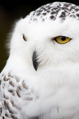 Llen Blanc (Annamon) Tags: barcelona white bird blanco au catalonia canvas ave vic catalunya blanc osona buho lienzo buboscandiacus mussol canon70300isusm mercadomedievaldevic buhonival canon40d sortidazz llen mercatmedievaldevic