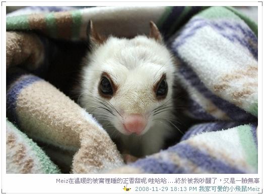 2008年11~12月份小飛鼠Meiz的生活照 (4)