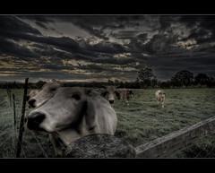 Moooooooo ([ Kane ]) Tags: sun tree green grass clouds fence cow cows farm australia brisbane qld kane hdr gledhill aplusphoto kanegledhill kanegledhillphotography
