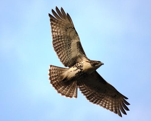 Red-tailed Hawk by latifi_latif.