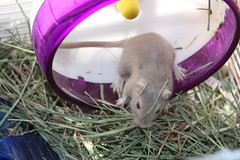 wow I think im dizzy! (AdrianneIsabel) Tags: pet gerbil rodent cage gerbils gerblet