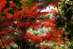(ddsnet) Tags: autumn plant leaves japan sony autumnleaves   nippon osaka  autumnal nihon 900  backpackers         leaves abigfave osakafu autumn  colorphotoaward impressedbeauty autumn  leaves sakashi  900