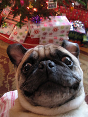 this pug thinks he's a frenchy!