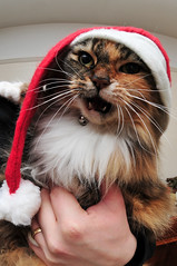 Christmas Cefer (Andrew Culture) Tags: christmas cat christmashat agedcat cefer longhaircar ornerycats