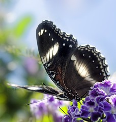 Up above (aussiegall) Tags: butterfly garden wings backyard duranta geishagirl