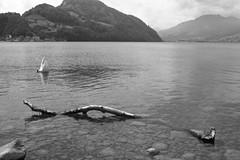portrait of a swan (The Cassandra Project) Tags: bw film water monochrome 35mm vintage landscape schweiz switzerland swan wasser suiza swiss driftwood apx100 diafine sw expired svizzera landschaft sveitsi treibholz innerschweiz nidwalden zentralschweiz centralswitzerland nikonfm2n stansstad 35mmprime rolleiretro100 alpnachsee garnhnki lakealpnach nikkor128ais