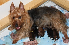 Kaih and puppies born May 18, 2011