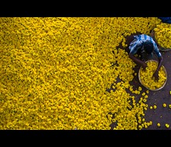 Yellow Sea (thefotobaba) Tags: yellow bangalore yellowflowers allyellow streetshotindia streetphotographybangalore flowershopindia photofullofyellowflower photofullofyellow