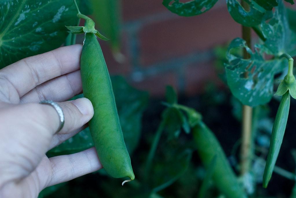 Peas!-5