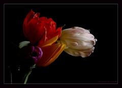 Four different kinds (Kirsten M Lentoft) Tags: red white flower yellow bravo purple tulip excellence onblack splendiferous flowerotica anawesomeshot impressedbeauty loveyoutobits momse2600 diamondclassphotographer flickrdiamond megashot theunforgettablepictures betterthangood theperfectphotographer rotrossorougerood 4mazingorgeoushotsoflowers mmmmmmmmuahhhhhhhhhhhh kirstenmlentoft