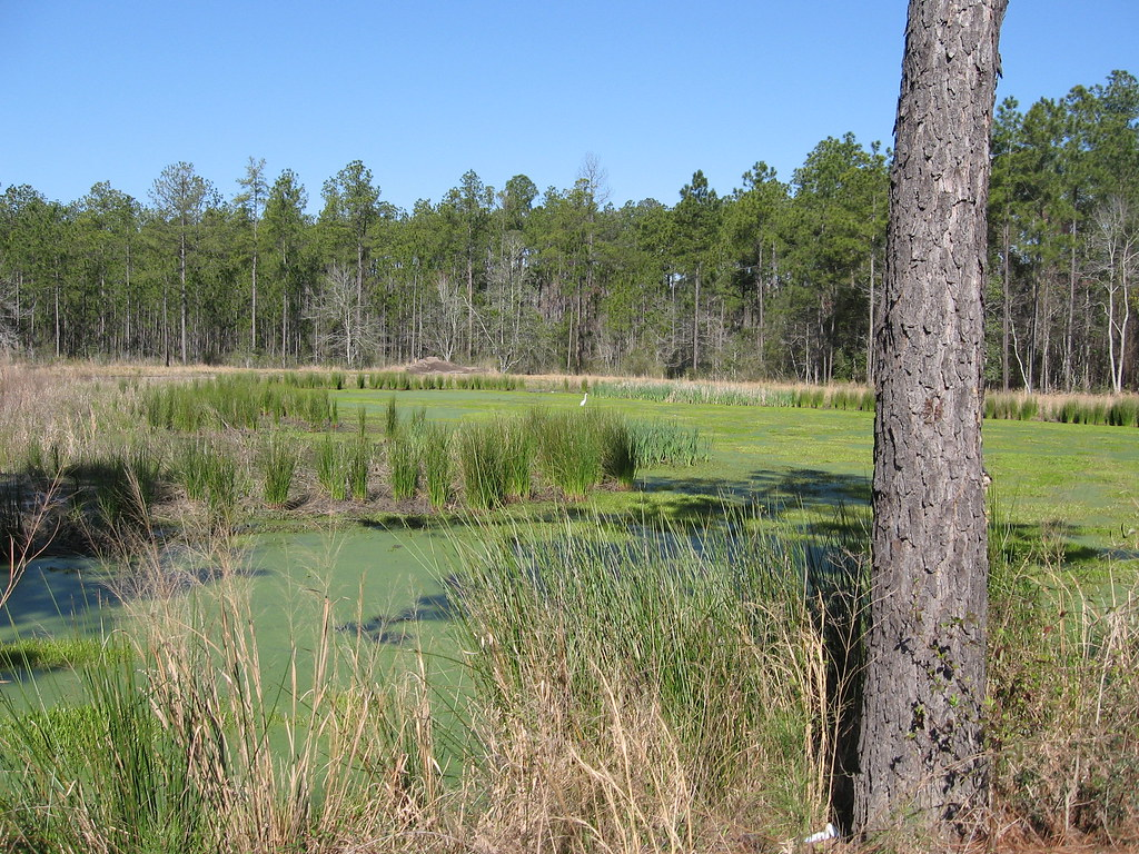 egret in swamp