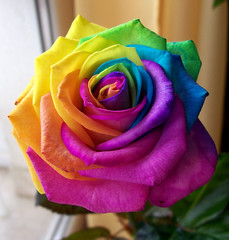 Virgz sznek / Colours in Bloom (ssshiny) Tags: flower rose rainbow colourful virg szivrvny rzsa aplusphoto sznes flowerpicturesnolimits colourartaward flickrsrainbowpics
