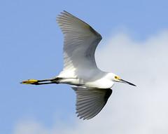 Snowy Egret~Green Cay Wetlands, FL (Apryl Wiese) Tags: bird florida wildlife wetlands egret avian blueribbonwinner supershot animalkingdomelite avianexcellence