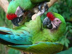 Military Macaws (greenkayak) Tags: park silversprings bird closeup florida parrot macaw centralflorida militarymacaw aramilitaris greenkayak sonydsch7