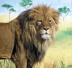 African Lion on Painted Plain (BarbSF) Tags: nature zoo olympus lions zoos bestofflickr uz thezoo c750 africanlion malelion c750uz rosamondgiffordzoo callofthewild photosmiles lionsandtigersandbearsohmy parkstock syracusenewyork avisittothezoo flickrzoo worldbest impressedbeauty stockthepark incrediblenature worldofanimals photostosmileabout naturesbestphotography zoosofnewyork restrainedcontained itsazoooutthere zoosoftheworld barbsf vosplusbellesphotos wildlifeshots flickrbigcats wildcatworld vosplusbellesphotosnatureonly wildfelinephotography photossansfrontiresnopeople olympusc750uzusers theconbination natureandgeneralanimalphotographyshowcaseanddiscussion onlythebestofnature focus20102022tiger