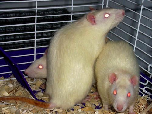 I has rats. :D