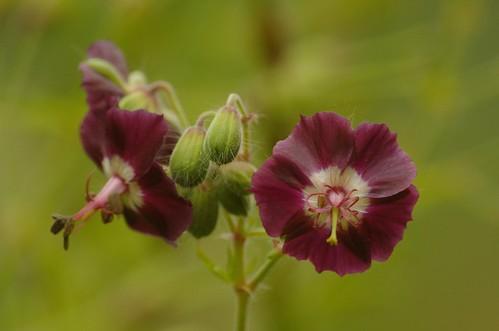 Geranium phaeum - Donkere ooievaarsbek (bloem)