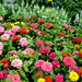 "Zinnias Wallpaper • <a style=""font-size:0.8em;"" href=""https://www.flickr.com/photos/78624443@N00/2542140791/"" target=""_blank"">View on Flickr</a>"
