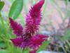 magenta flower (parttimefarm) Tags: flowers brasil magenta chacara echapora