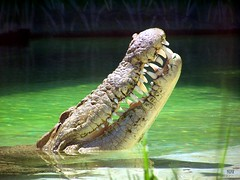 Aligators smile.