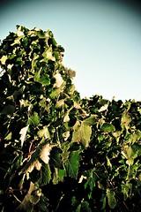 IMG_7628 (jonnoyeo111) Tags: winery adelaide penfold