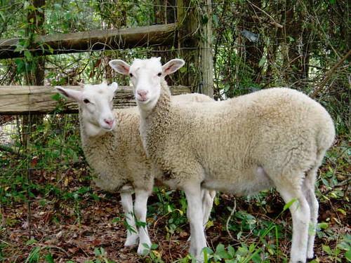 Hogan lambs.jpgs