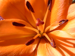 ~as 1 ~ (^i^heavensdarkangel2) Tags: light orange flower macro sunshine lite colorado lily close center orangeflower heavenly heavensdarkangel macrophotonolimits macromix brendaslily4b~day desbahallison heavensdarkangel2