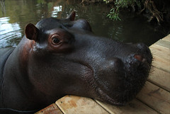 Jessica the Hungry Hippo (gail delderfield) Tags: southafrica top20np hippo hoedspruit animalportrait blyderiver anthropomorphology jessicasplace jessicathehippo tamewildanimals