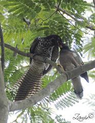 A mother's blind love. (Z.Faisal) Tags: green bird nature birds female nikon natural beak feathers aves nikkor juvenile bangladesh avian bipedal bangla faisal desh koel d300 zamir naturesfinest asiankoel eudynamys scolopacea eudynamysscolopacea pakhi endothermic jahangirnagaruniversity nikkor18200mmvrii zamiruddin zamiruddinfaisal zfaisal