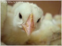 Os amarelinhos (Pry Oliveira) Tags: filhotes galinhas pintinhos lindinhos amarelinhos