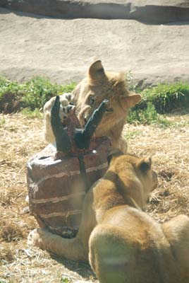 lions enrichment toy