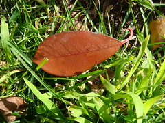 leaf on the lawn (louisa_catlover) Tags: brown plant green nature grass leaf saveearth