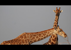 (It's Stefan) Tags: africa wildlife safari namibia etosha  giraffen giraffs