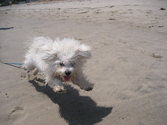 I Can Fly! (seaotter22) Tags: dog white beach fly flying sand run belle bichon bichonfrise dogster worldscoolestdogcontest