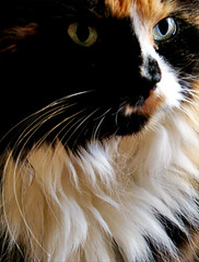 Calico Portrait (ginfox) Tags: portrait brown white black cat feline greeneyes calico multicolored catportrait