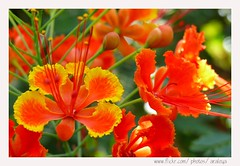 Blissfully Blossom (Araleya) Tags: leica red summer orange flower home nature colors catchycolors garden thailand saturated energy colorful asia southeastasia warm vivid panasonic tropical bloom cheerful flamboyant secretgarden feelgood fz50 homegarden gulmohar nonthaburi blissful fpc krishnachura energetic royalpoinciana flameoftheforest  beautfiul araleya peacockflower bej leicadigital pdpnw theperfectphotographer  genusaloe malinchetabachineflametreedelonixregiafabaceae