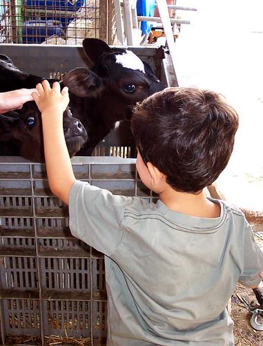 Un vitellino accarezza i vitellini :)