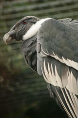 I should be flying high (gilltheaker) Tags: portrait white black closeup zoo dof endangered condor essex colchester colchesterzoo andeancondor photofaceoffwinner pfogold